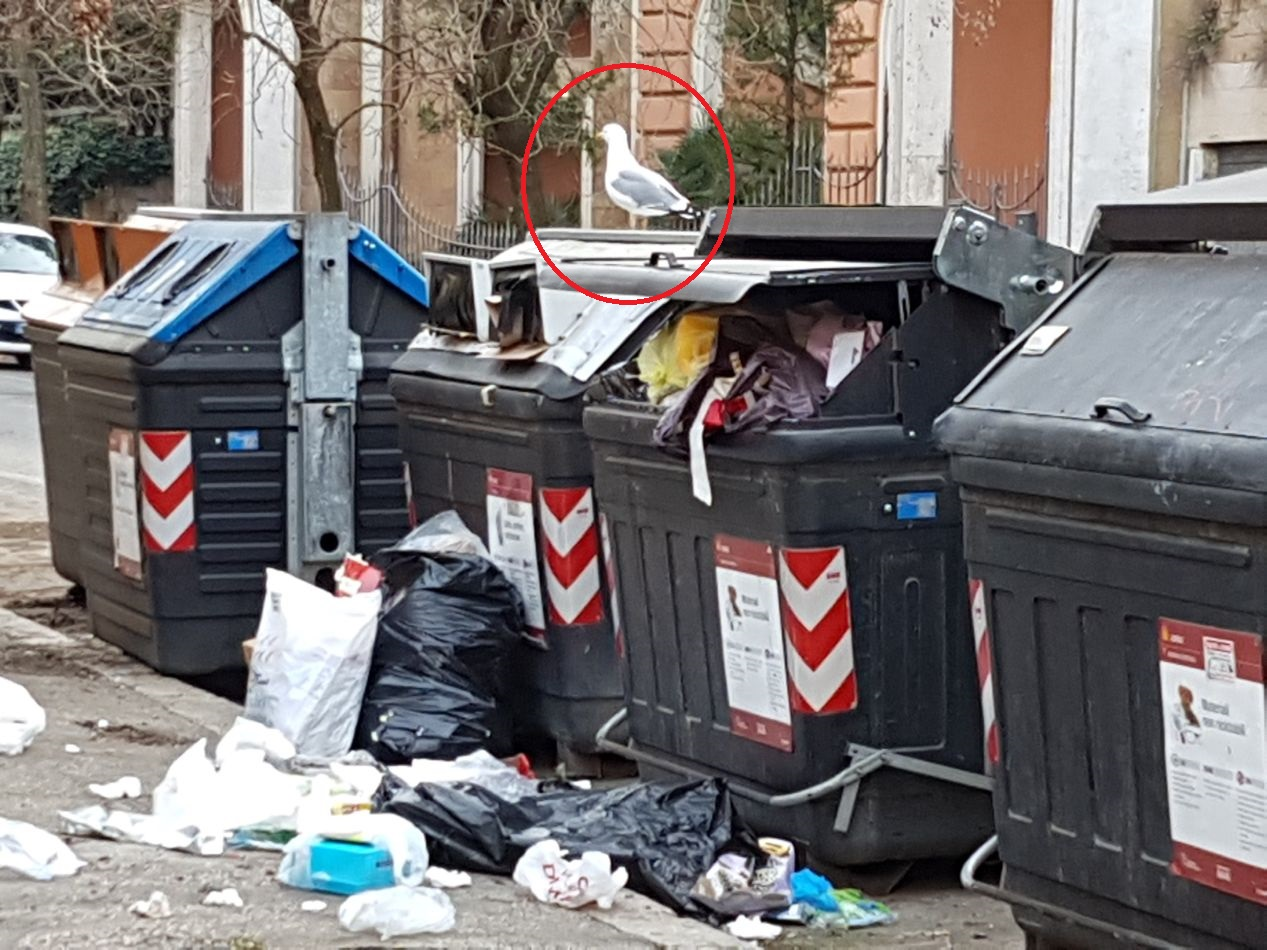 gabbiani-rifiuti